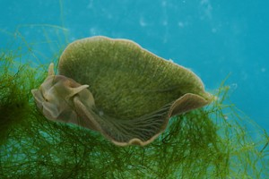 green_sea_slug