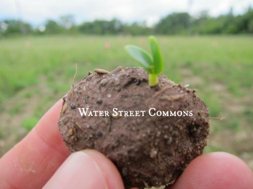 seedballsprout3
