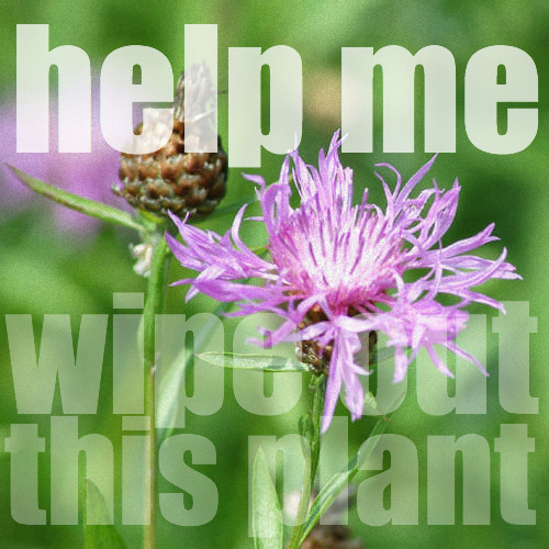 spotted_knapweed8