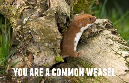 common-weasel2