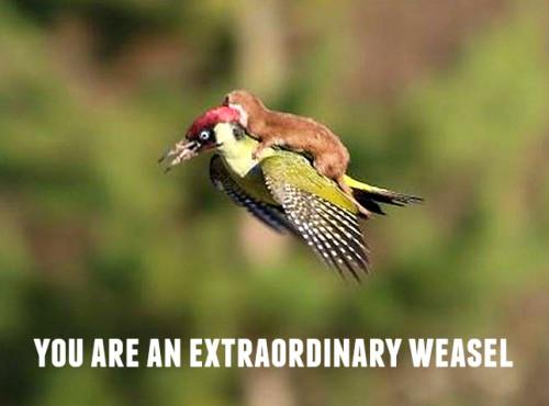 woodpeckweasel4